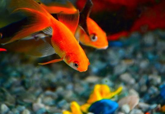 L'internaute : ce poisson rouge qui ne revient pas !